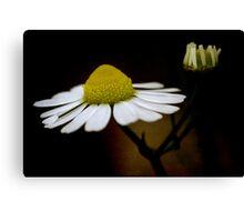 chamomile flower Canvas Print