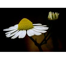 chamomile flower Photographic Print