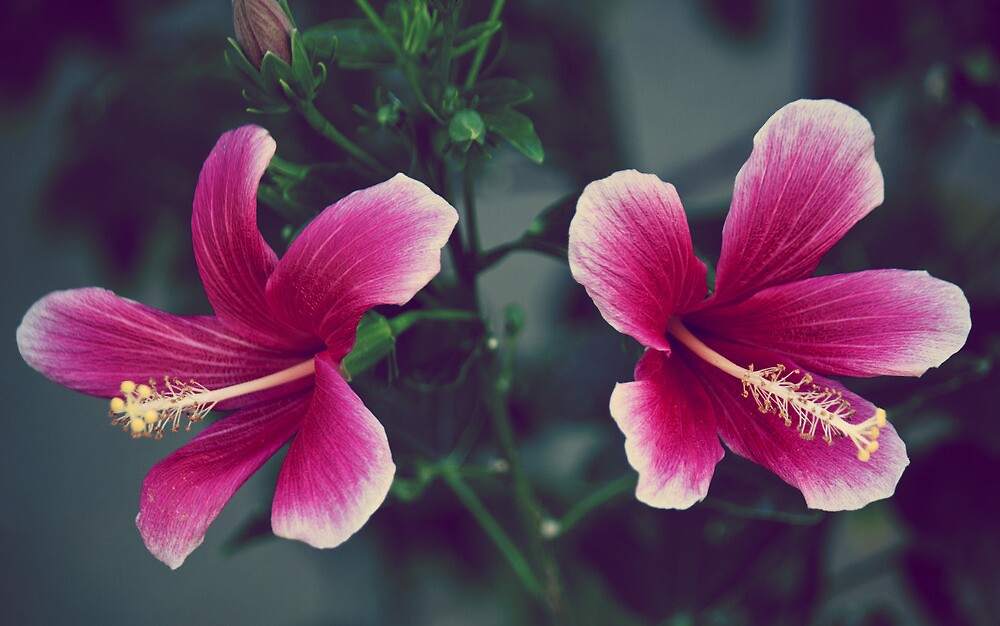 Pink Double Tropical Hibiscus by satori80