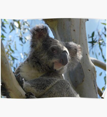 Formal Portrait Sitting - Billy Koala 3 Poster