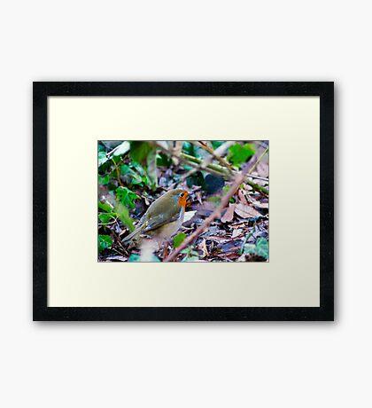 Hungry Robin Framed Print