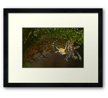 Southern Pygmy Squid Framed Print
