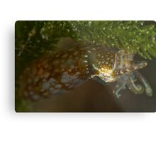 Southern Pygmy Squid Metal Print