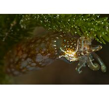 Southern Pygmy Squid Photographic Print