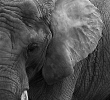Quiet Contemplation - African Elephant by George Wheelhouse
