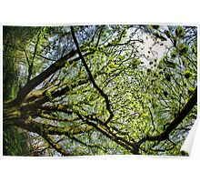 Limbs of a tree in spring Poster