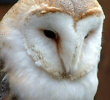Barn Owl by Paul  Green