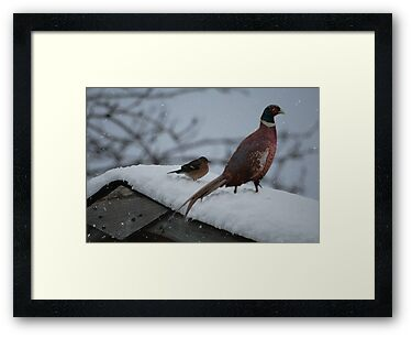 Pheasant in the snow by Declan Carr