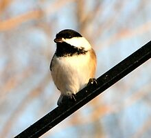 Chickadee with a seed by Henry L. Sampson