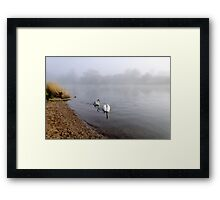 Mute Swan and Cygnet on the Misty River Framed Print