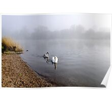 Mute Swan and Cygnet on the Misty River Poster