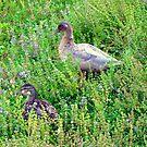 Ducks Amidst Purple Flowers by scenebyawoman