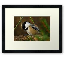 Black-capped Chickadee Eating a Sunflower Seed Framed Print