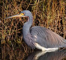 Tricolored Heron by naturalnomad