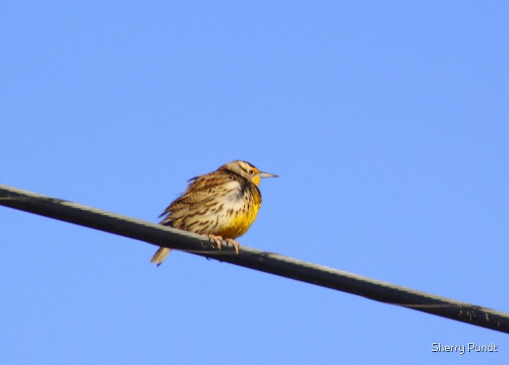 Meadowlark by Sherry Pundt