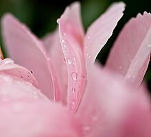 Pink Petals by Tracey  Dryka