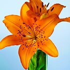 African Lily by Harry H Hicklin
