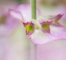 Salvia Elegance by Sarah-fiona Helme
