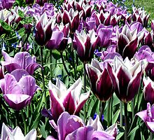 Purple Tulips by barnsis