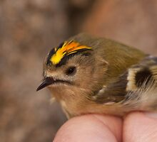 Goldcrest - bird ringing by Jon Lees