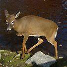 Deer by Adventures
