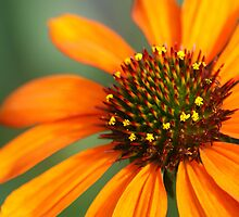 Orange Coneflower by crystalseye