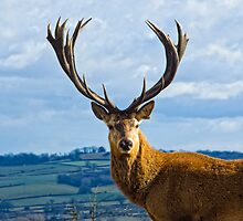 Red Deer Stag by dave-vaughan