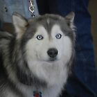 Siberian Husky by zpawpaw