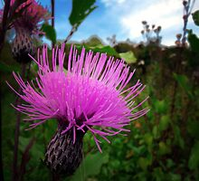 Canadian Thistle  by Marcia Rubin