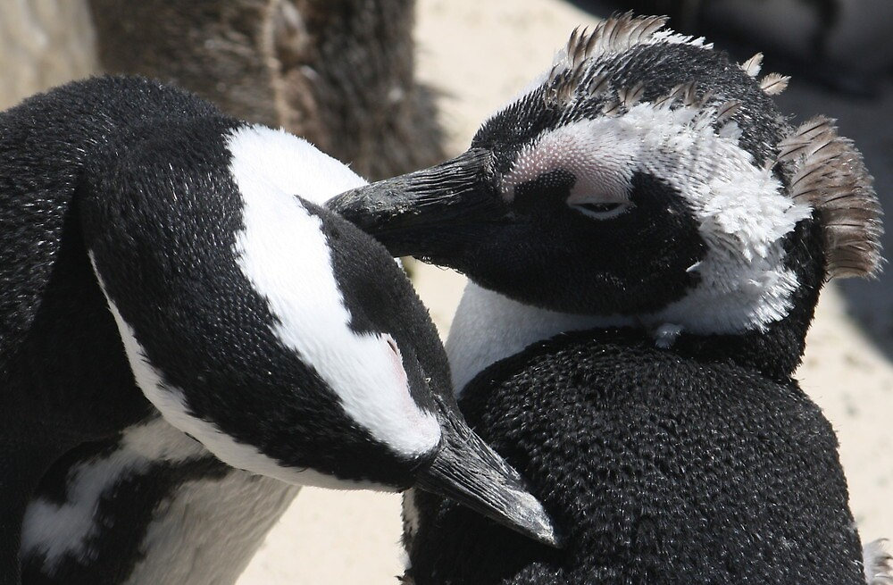 Hen Pecked -  African Penguins Cleaning by starvingphoto
