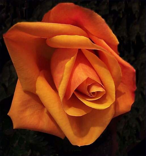 A Single Orange Rose by Ginny York