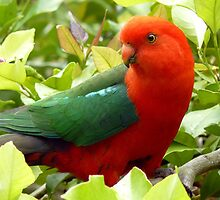 Australian Male King Parrot by Margaret Stockdale