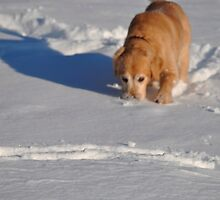 Snow diving dog by Nancy Rohrig