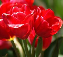 Red Tulips by crystalseye