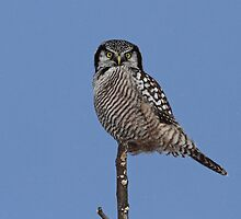 Northern Hawk Owl and Blue Sky by Bill McMullen