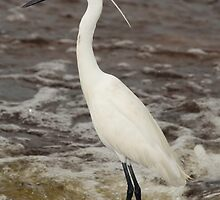 Great Egret by mhall