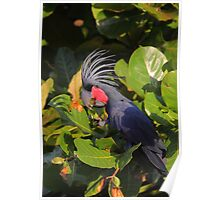 Nutcracker - Palm Cockatoo Poster