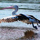 Pelican on Narrabeen Lake # by Doug Cliff
