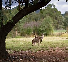 Kangaroos at Warrumbungle National Park NSW  by Frank Moroni