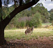 Kangaroos at Warrumbungle National Park NSW  by Frank Moroni