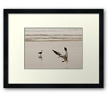 Coming in to land - seagull Baylys Beach NZ Framed Print