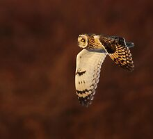Short-Eared Owl by Rob Lavoie