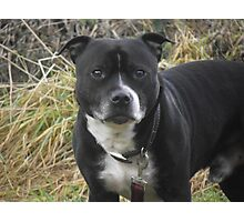 That Staffordshire Bull Terrier Photographic Print