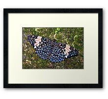 Cracker butterfly - Hamadryas amphinome Framed Print