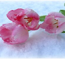 Tulips & Snow by Morag Bates