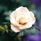 White Rose by Robin Black