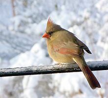 Winter Cardinal - Perfect Claudia by WalnutHill
