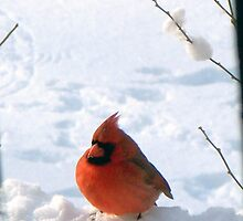 Winter Cardinal - Cold Carl by WalnutHill