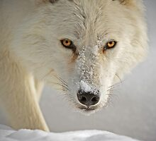 Arctic Wolf  by Daniel  Parent