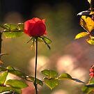 red rose by Sajeev Chandrasekhara Pillai